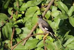 Black and grey Indian Myna with yellow eye Stock Photography