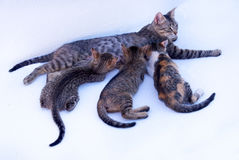 3 black and grey kittens with mother royalty free stock images
