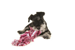 Black and grey mini schnauzer puppy lying on the floor chewing on a pink and white woven rope toy seen from the front. On a white background royalty free stock photos