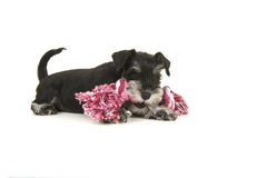 Black and grey mini schnauzer puppy lying on the floor chewing on a pink and white woven rope toy seen from the side. On a white background royalty free stock photo