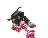 Black and grey mini schnauzer puppy lying on the floor pulling on a pink and white woven rope toy. Isolated on a white background royalty free stock photography