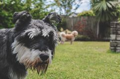 Black and Grey Mini Schnauzer In Sunny Garden. Happy small dog playing on the lawn in a sunny beautiful garden with trees stock photography