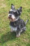 Black and Grey Mini Schnauzer In Sunny Garden. Happy small dog playingbon the lawn in a sunny beautiful garden with trees stock photos