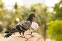 Black-grey multi colour pigeon stand on sandstone bridge in park with a blur another grey pigion trees background. Black-grey multi colour pigeon stand on stock photos