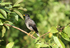 Black and grey myna with yellow eyes and beak Stock Photos
