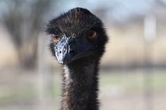Black and Grey Ostrich Photo Royalty Free Stock Photos