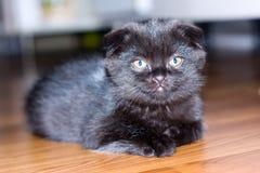 Black&grey scottish kitten Stock Photo