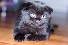 Black&grey scottish kitten Stock Image
