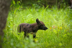 Black Grey Wolf Canis lupus Pup Looks Right. Captive animal Royalty Free Stock Photo
