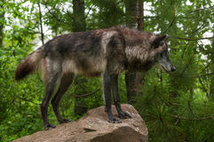 Black Grey Wolf Canis lupus on Rock Royalty Free Stock Photo