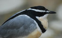 Black, grey, yellow and white small bird. Close up of black, grey, yellow and white small bird Stock Photography