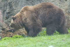 Black grizzly bears. Close up portrait Royalty Free Stock Photography