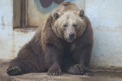 Black grizzly bears. Close up portrait Stock Photography