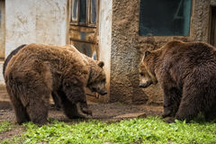 Black grizzly bears Stock Photos