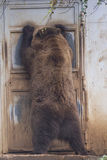 Black grizzly bears. While trying to enter inside a house Royalty Free Stock Image