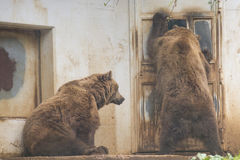 Black grizzly bears. While trying to enter inside a house Royalty Free Stock Photography