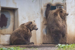 Black grizzly bears. While trying to enter inside a house Stock Photos