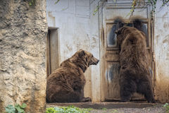 Black grizzly bears Stock Image