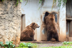 Black grizzly bearsoutside a house Stock Photography