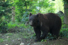 Black grizzly Royalty Free Stock Images
