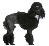 Black groomed Poodle, 2 years old, standing Royalty Free Stock Photo