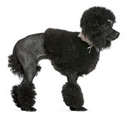 Black groomed Poodle, standing Stock Photo