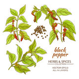 Black ground pepper. Branches on white background Royalty Free Stock Photography