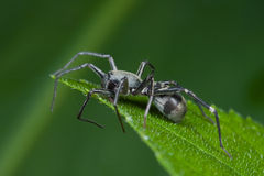 Black ground spider Stock Photo