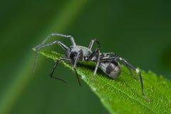 Black ground spider. Macro shot of a black ground spider Stock Photo