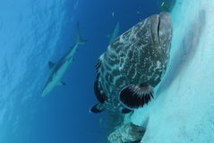 Black Grouper and Caribbean Reef Shark. Black Grouper with sharks in background Royalty Free Stock Images