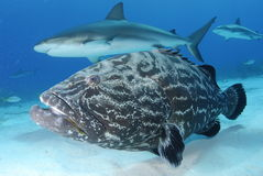 Black Grouper and Caribbean Reef Shark. Caribbean Reef Shark and Black Grouper royalty free stock photo