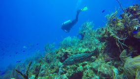 Black grouper in Cuba's Jardin de la Reina stock video footage