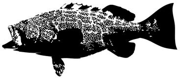 Black grouper fish vector. Large predatory saltwater fish caught mostly on dead bait Royalty Free Stock Photo