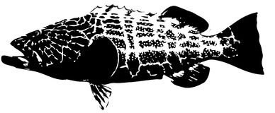 Black grouper - fish vector. Large predatory saltwater fish caught mostly on dead bait Stock Image