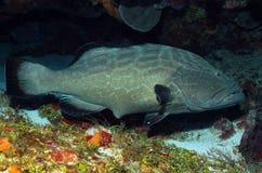 Black Grouper Stock Image