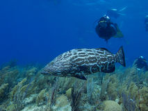 Black grouper swimming over stunning reef in Cuba's Jardin de la Reina. Black grouper swimming over stunning reef, with divers in the blue water background in stock image