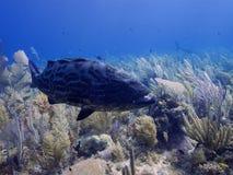 Black grouper swimming over stunning reef in Cuba's Jardin de la Reina Stock Photos