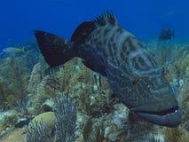 Black grouper swimming over stunning reef in Cuba's Jardin de la Reina Stock Image