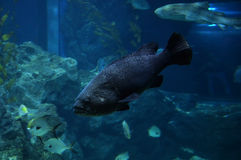 Black grouper Stock Photo