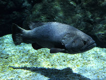 Black grouper Royalty Free Stock Photo
