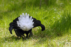 Black grouse Stock Image
