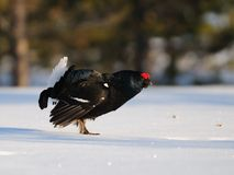 Black grouse Royalty Free Stock Photos