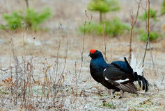 The Black Grouse or Blackgame (Tetrao tetrix). Royalty Free Stock Image