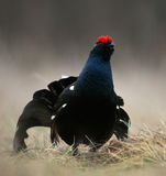 The Black Grouse or Blackgame (Tetrao tetrix). Stock Photo