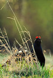 The Black Grouse or Blackgame (Tetrao tetrix). Royalty Free Stock Photos
