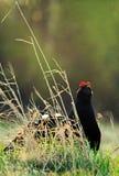 The Black Grouse or Blackgame (Tetrao tetrix). Royalty Free Stock Photos