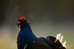 The Black Grouse or Blackgame (Tetrao tetrix). Stock Images