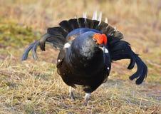 The Black Grouse or Blackgame (Tetrao tetrix). Royalty Free Stock Photo