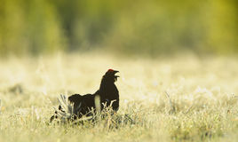 The Black Grouse or Blackgame (Tetrao tetrix). The Black Grouse or Blackgame (Tetrao tetrix) at the Lek Royalty Free Stock Image