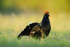 The Black Grouse or Blackgame (Tetrao tetrix). Royalty Free Stock Photo